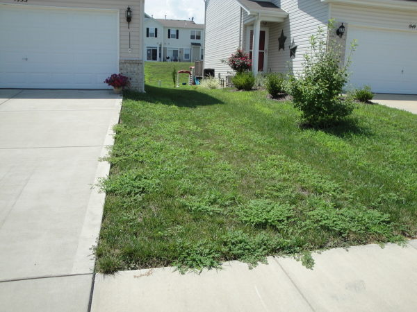 Common warm season lawn weeds