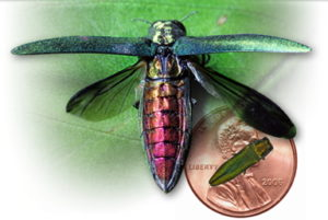 size of emerald ash borer next to a penny