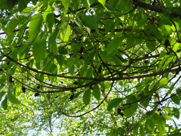 Ash Tree Opposite Branches