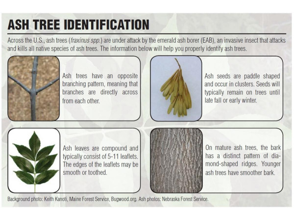 Ash tree identification information