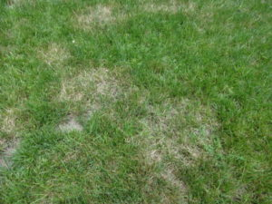 An indication of Brown Patch Disease within a lawn