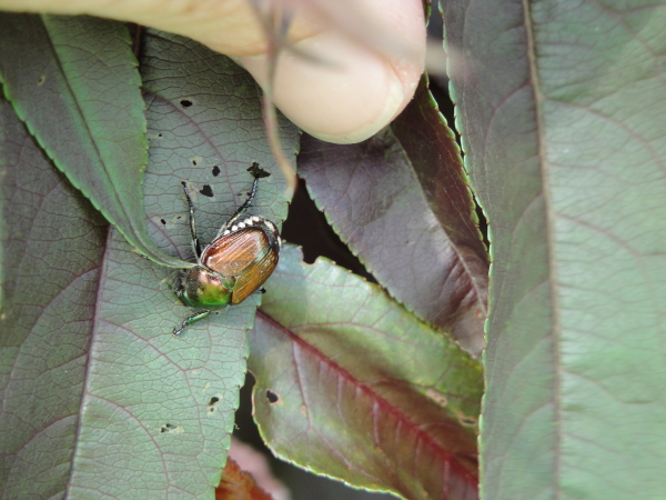 A Japanese Beetle eating a leaf