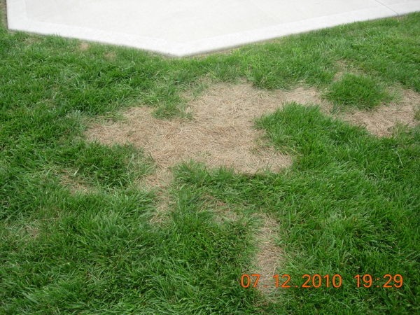 summer patch lawn disease