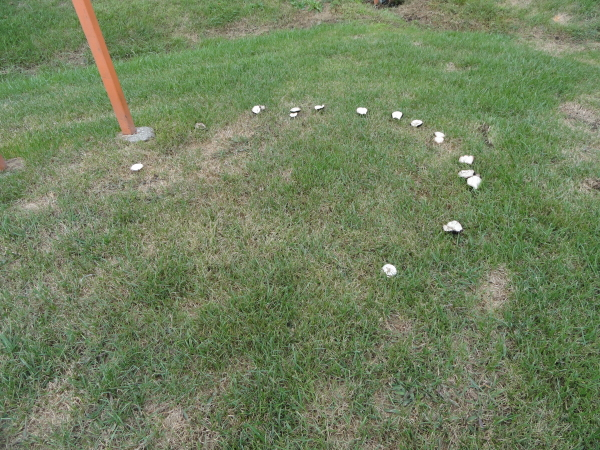A mushroom fairy ring found in a lawn