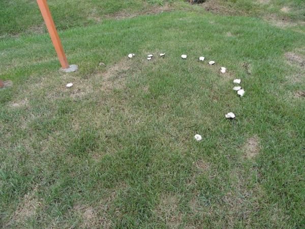 A mushroom fairy ring found in a lawn