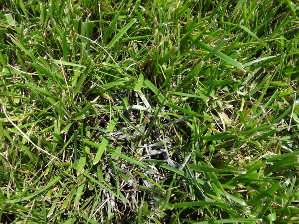 Powdery mildew lawn disease