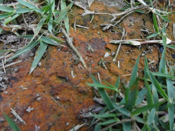 Rust disease as seen in a lawn
