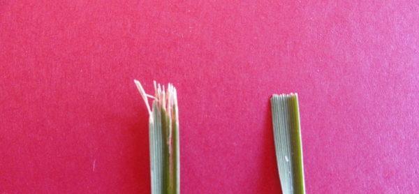 sharp and dull grass blade