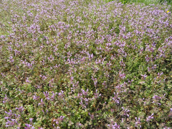 Henbit is a common cool season lawn weed
