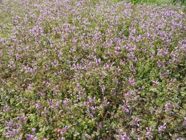 Henbit is a common cool season lawn weed