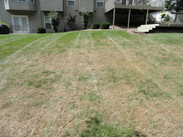 Armyworms lawn damage