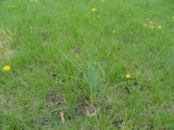 Onion grass growing in a lawn