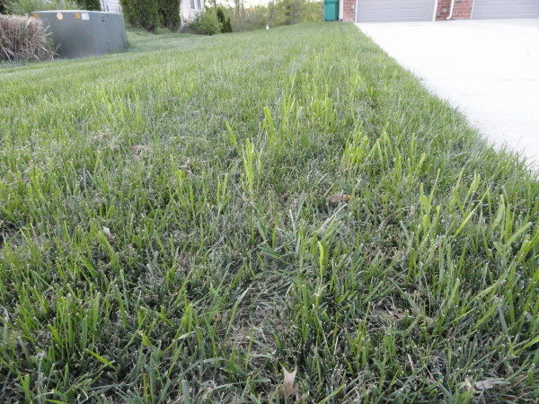 Quackgrass within a lawn