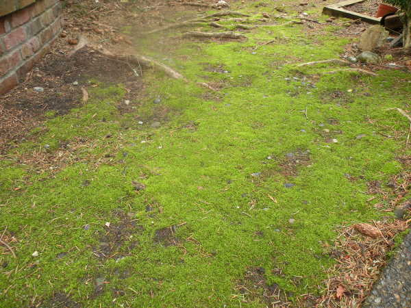 Moss growing in a lawn