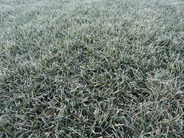 Frost on a lawn in the morning